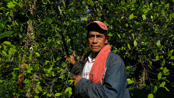 A farmer stands in front of a coca plant on a farm in a small village in Corinto, Colombia
